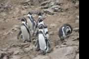 Paracas Ballestas Pinguino Humboldt Pasion Andina