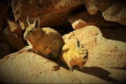 Sud Lipez Viscacha Pasion Andina