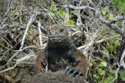 Wildlife - Galapagos - Pasion Andina - Iguane