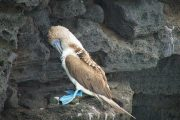 Blue footed booby - Galapgaos - Wildlife - Pasion Andina
