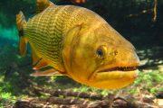 Wildlife - Fish - Bonito - Snorkeling - Bresil - Pasion Andina