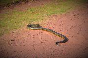 Anaconda - Pantanal - Bonito - Bresil - Pasion Andina