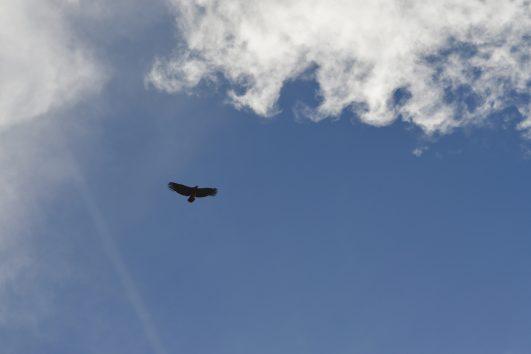 Chonta-condor-sky-cusco-perou-peru-pasion Andina-travel-nature-trvaelagency-voyage-sky-oiseau-wildlife