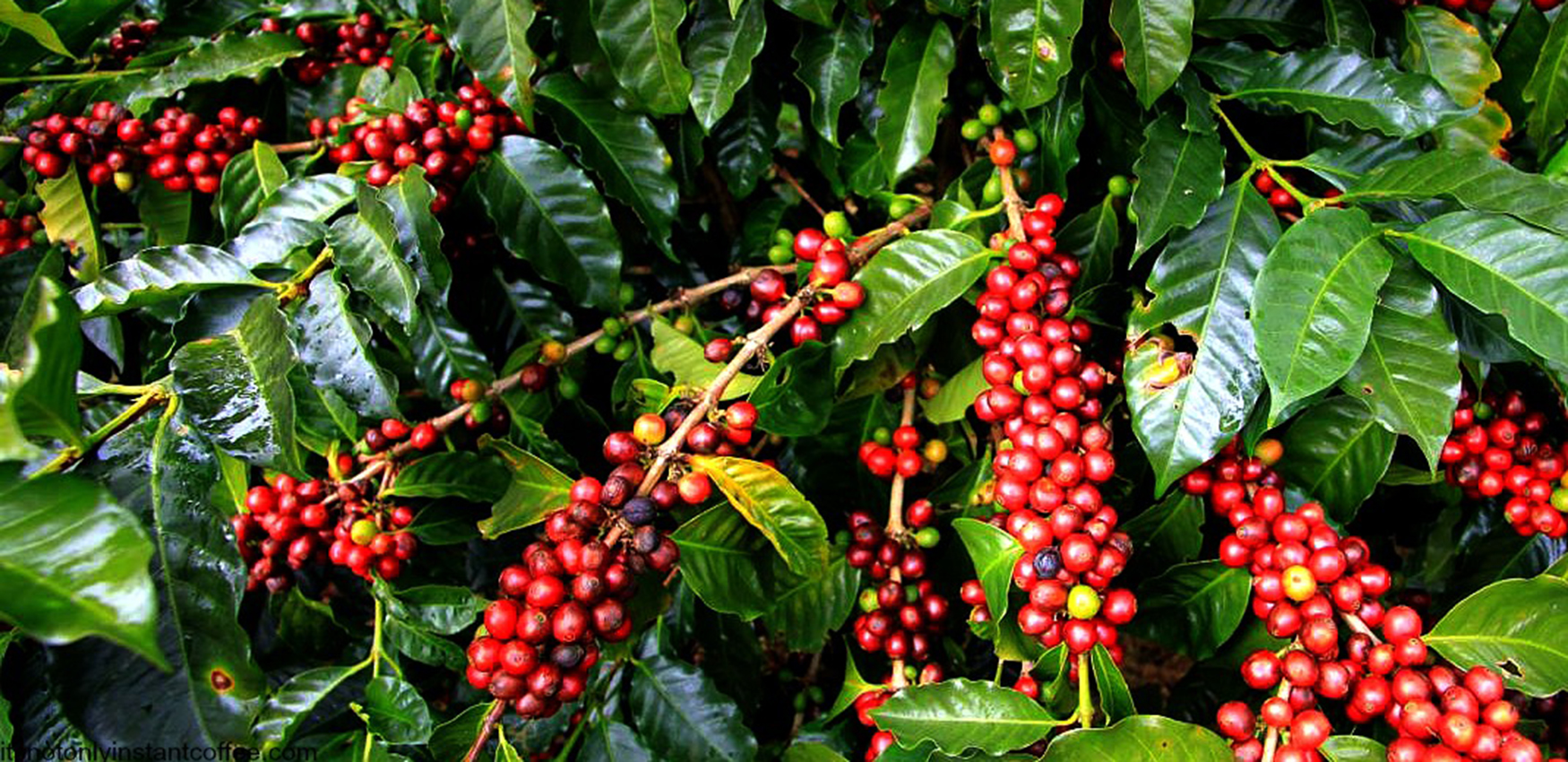Coffee and Cocoa among producers in the Cusco region